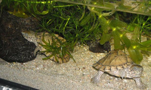 Morkienwurzel in der Ecke und Schwimmpflanzen als Kletterhilfe im Aquarium