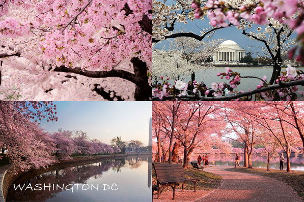 Cherry Blossoms ( klik op foto )