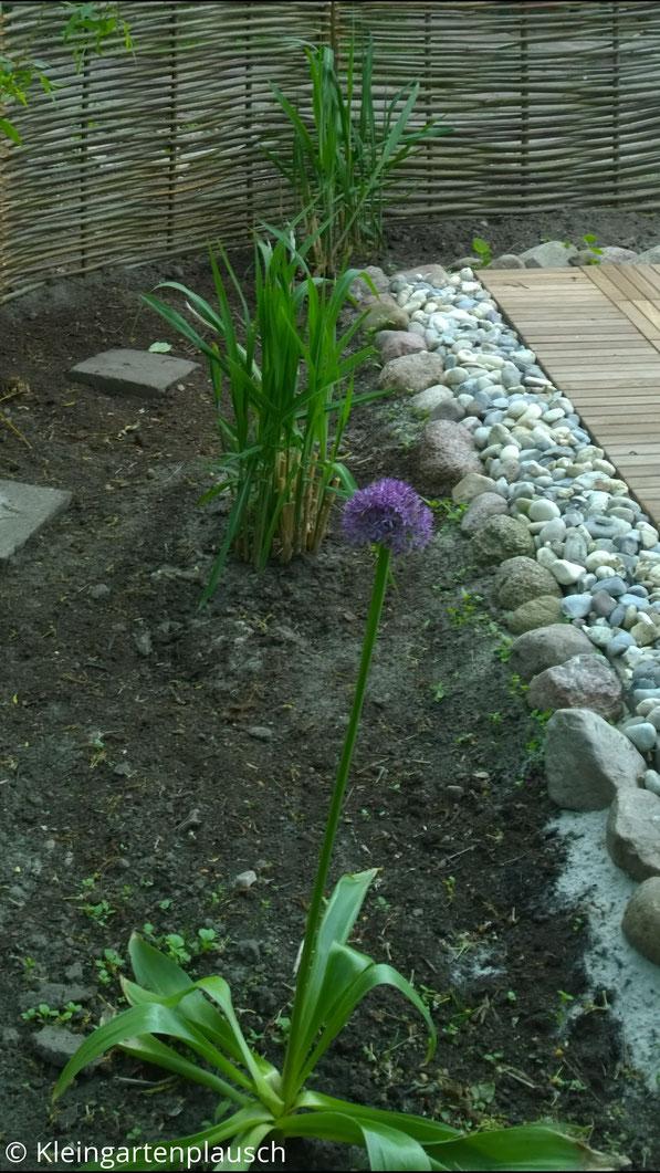 Ein blühendes großes Allium, dahinter zwei kleine Riesenchinaschilfhorste an Terrasse