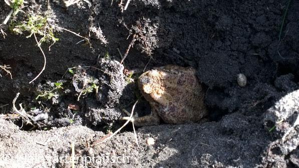 Braune Erdkröte, die aus Erdloch guckt...