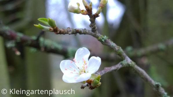 Zweig von Kirschpflaume mit erster zarter weißer Blüte und Blattansätzen