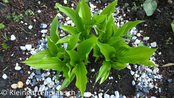 Hellgrüne schmale große und zahlreiche Blätter unserer Hosta