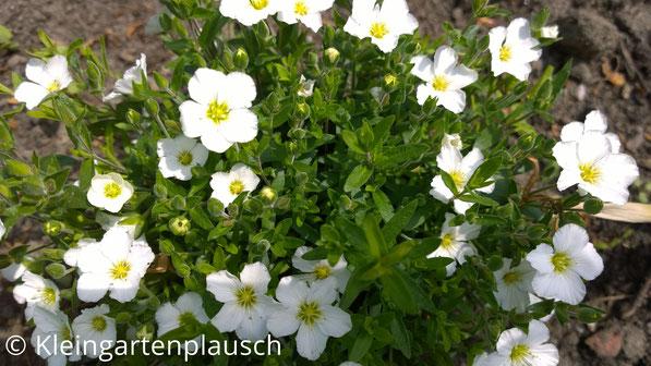 Kleine weiße runde Blüten mit gelbem Inneren