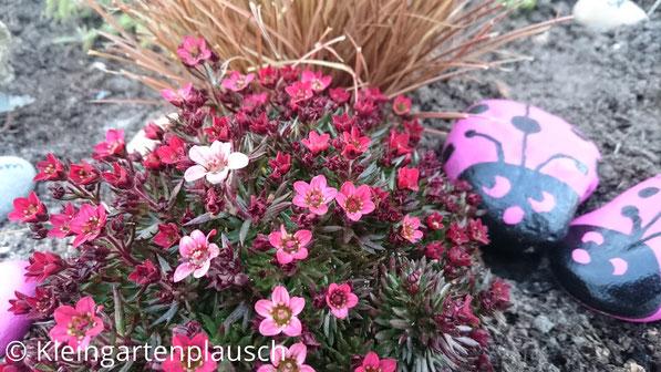 Mossteinbrech pink und rosa blühend, daneben pinke Stein-Marienkäfer