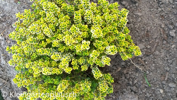 Gelbgrün leuchtender Thymian, nach Zitrone duftend