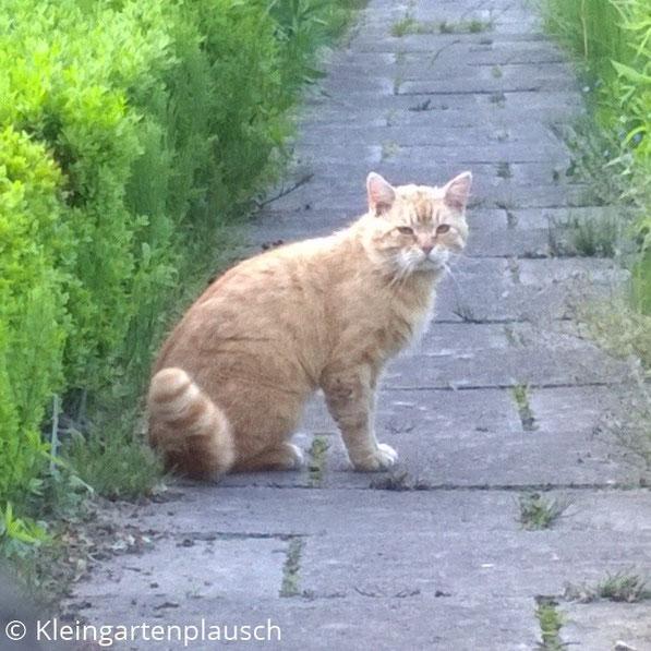 Rothaarige Katze sitzt auf gepflastertem Gartenweg ...