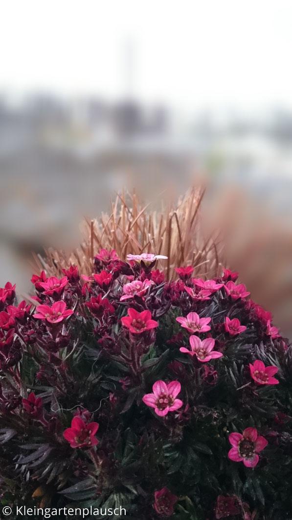 Moossteinbrech mit rosa und pinken Blüten