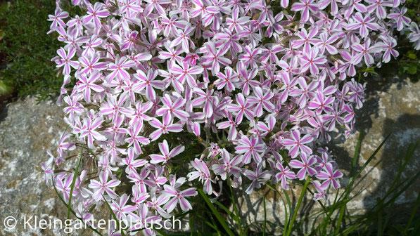 Schmale weiße Blüten mit zartrosa Streifen