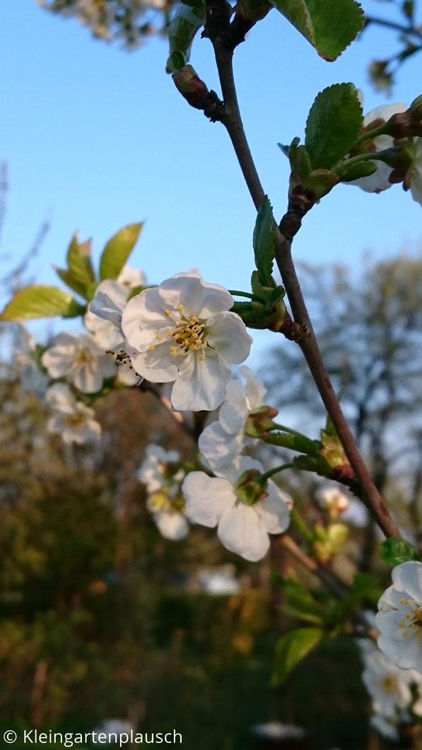 Kirschblütenzweig im Abendlicht