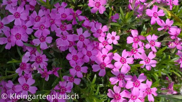 Zartrosa kleine Blüten mit pinkem Auge