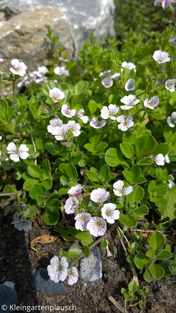 Kleine weiße Blüten mit zarten dunklen Streifen