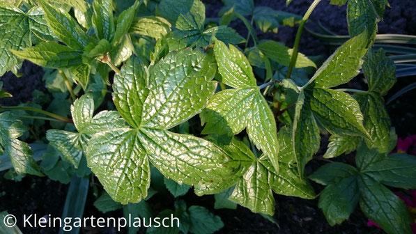 Dunkelgrüne Blätter vom Geranium nodosum mit ausgeprägten Blattadern