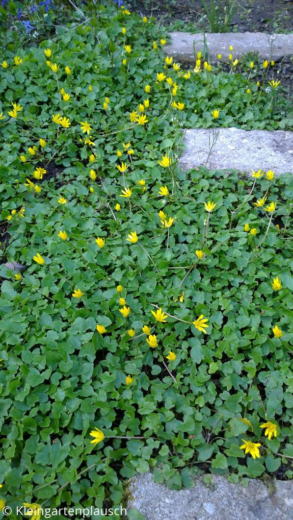 Gelb blühendes Scharbockskraut zwischen alten Steinstufen