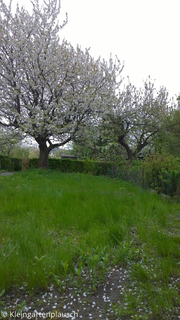 Im Hintergrund blühender Kirschbaum, im Vordergrund hohe Gras-und Unkrautwiese
