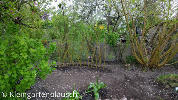 lebendiger Weidenzaun an der Grenze zum Nachbarn, im Vordergrund eine Johannisbeere, Allium