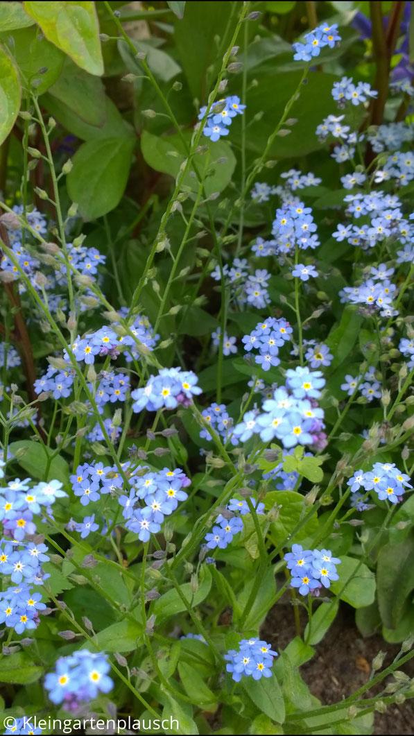 Zarte blaue Blütchen mit gelbem Auge