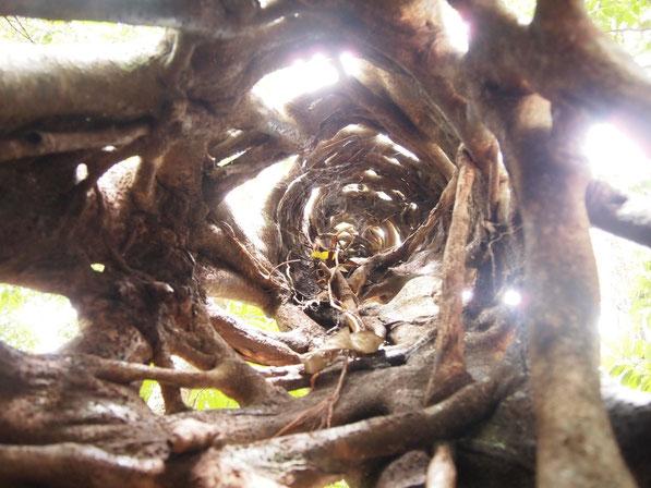Wurzeln eines Baumes im Regenwald
