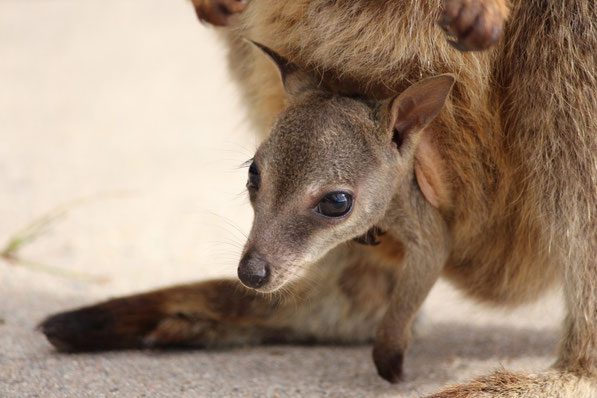 Wallabie-Baby