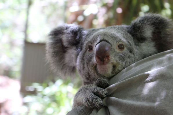 Peppels - der Koala
