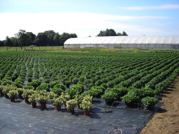 Les chrysanthèmes pour la Toussaint