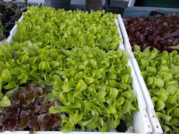 Nos plants de salades