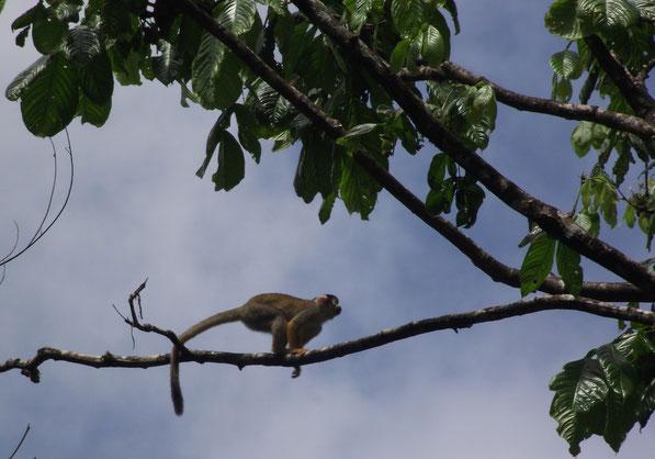 Spider monkey in Villa Tunari, Bolivia