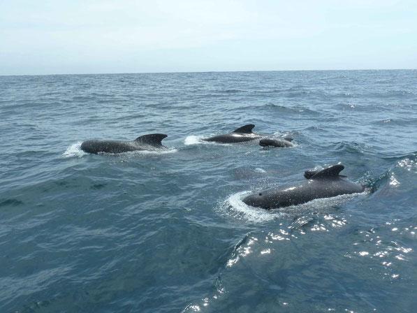 Atlantiküberquerung: Grindwale direkt neben dem Boot, zwischen Afrika und Nordamerika  Dez.2011