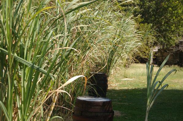 Die Zukerrohrplantage auf Bequia / SVG  wird schon lange nicht mehr bewirtschaftet.