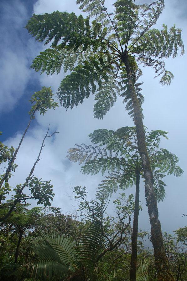 Baumfarne, groß wie Palmen......