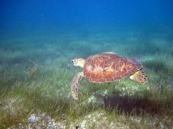 Caretta - Caretta in der Karibik deutlich grösser als im Mittelmeer