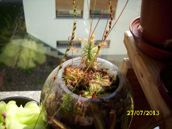 Ein weiteres Kugelglas mit einer großen drosera scorpioides, umringt von drosera aliciae und drosera tokaiensis von denen ein paar schon lange Blütenstiele gebildet haben.