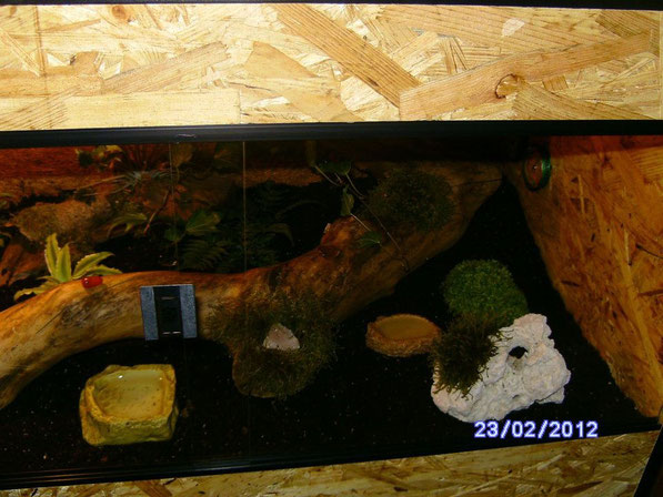 Die rechte Seite des Terrariums wurde im Laufe der Zeit komplett umgestaltet. Dies ist der Urzustand. Der weisse Stein wurde gegen diverse Höhlenbauten ausgetauscht, Rankenpflanzen wucherten, die grüne Pflanze ganz rechts ging allmählich ein.