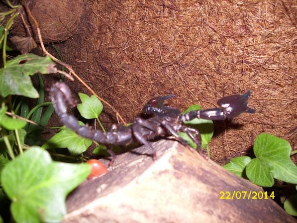 Eine Nahaufnahme macht deutlich das es sich um ein Tier handelt das sich kürzlich gehäutet hat, da die Skorpione ansonsten alle gut im Futter stehen jetzt wo der Sommer angebrochen und reichlich Beute auf den Wiesen zu fangen ist.