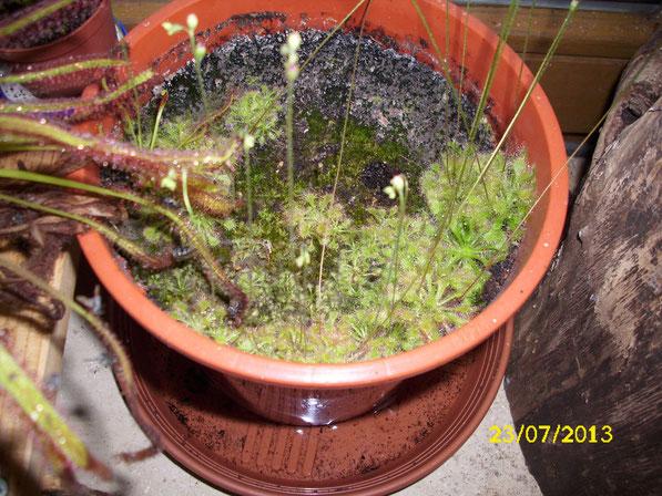 Der große Topf mit den drosera spathulata. Hatte ich mal bei Ebay ersteigert, inzwischen sind die Altpflanzen jedoch eingegangen, haben aber ettliche Keimlinge hinterlassen die, wie man sieht, auch schon gut gewachsen sind.