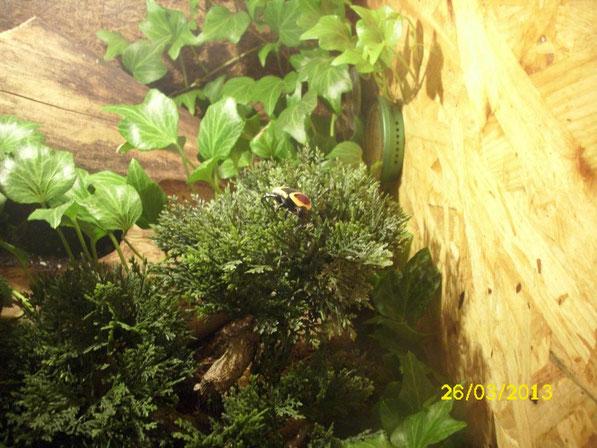 Ein Zoophoba hat sich zu einem großen und stattlichen Käfer entwickelt. Er besitzt eine wunderschöne Zeichnung, aber auch die schützt ihn nicht vor dem Appetit der Skorpione.