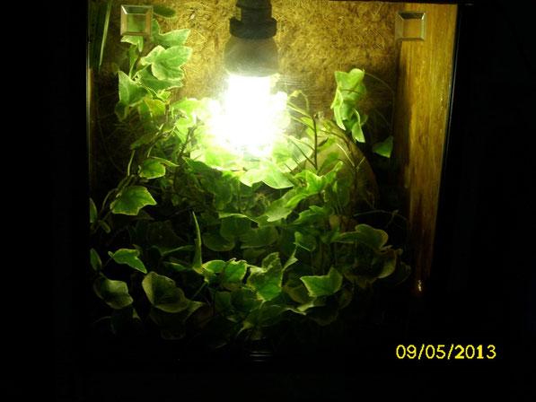 Panoramablick in das kleine Terrarium. Die Pflanze hat sich sehr gut entwickelt und sorgt für eine gute Luftfeuchtigkeit. Ein richtiges kleines Schmuckstück in dem das Männchen sich wohl fühlt.
