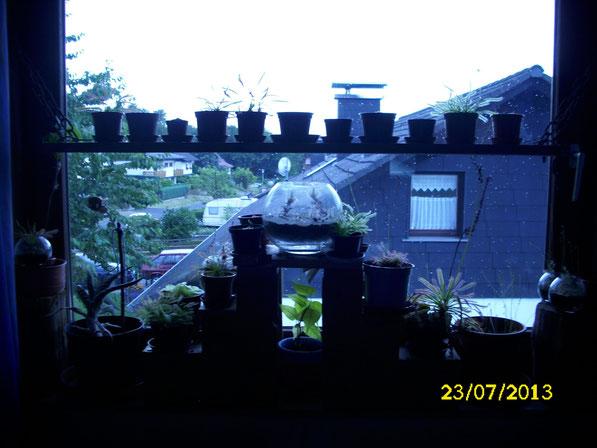 Ein Überblick über die Flora vor dem Südfenster. Man erkennt einen wilden Mix aus Sonnentau-Arten (drosera), Fettkraut-Arten (pinguicula), einem Bonsai in der Mitte, Kugelgläsern mit Karnivoren, sowie eine Sukkulente.