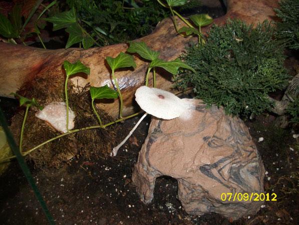 Auch andere Organismen finden den Weg ins Terrarium, hier hat sich ein schöner großer Pilz gebildet, dem der feuchtwarme Boden scheinbar ein idealer Nährboden ist.