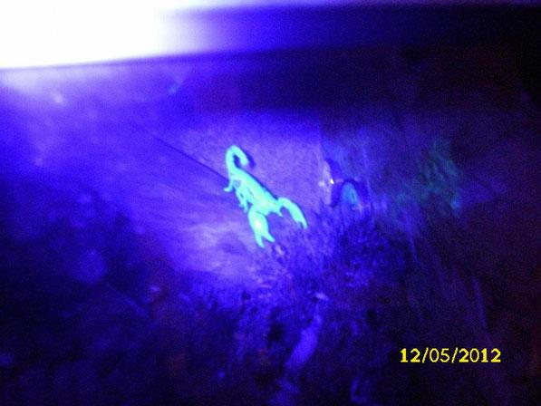 Erste Aufnahmen der faszinierenden Eigenart der Skorpione: Sie fluoriszieren unter Schwarzlicht. Die Wissenschaftler sind sich bis heute noch nicht genau im Klaren darüber weswegen sie diese Fähigkeit besitzen.