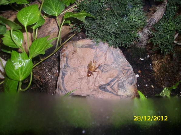 Da man mittlerweile draussen keine Futtertiere mehr finden konnte, war es zeit auf gezüchtete Heimchen zurückzugreifen. Hier sonnt sich eins auf der Felsenhöhle.