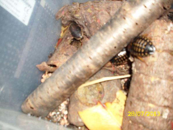 Die Schaben leben in einer mittelgroßen Transportbox, in die ich eine Lüftung eingestochen habe. Als Nahrung nehmen sie so ziemlich alles, das Hauptfutter besteht aus Zierfischflocken und Apflestückchen. Flüssigkeit nehmen sie durch Aquagel-Kügelchen auf.