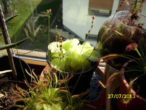 Die Urpflanze der Fettkräuter und mein erstes Fettkraut überhaupt (pinguicula x tina). Davon lassen sich stets jede Menge neuer Stecklinge ziehen und im Frühjahr blüht sie auch wunderschön.