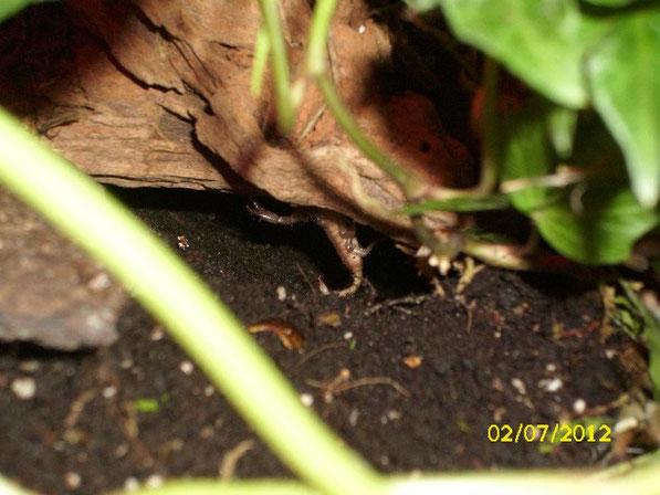 Eins der Jungtiere hängt von der Decke der Höhle die sich unter der Mangrovenwurzel befindet.