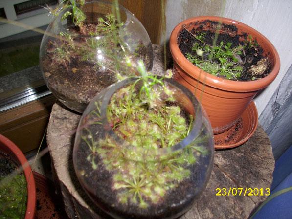 Zwei Kugelgläser voller Zwergdroseras (drosera scorpioides, drosera roseana), sowie ein Topf mit drosera tokaiensis Keimlingen stilecht auf einem Baumstamm auf der rechten Fensterseite.