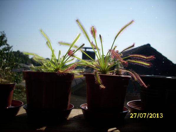 Zwei weitere drosera capensis & drosera capensis alba, die aus dem alten Florarium stammen. Bei der rechten hat sich auch noch ein kleiner Brutschuppe zu einer drosera scorpioides entwickelt.