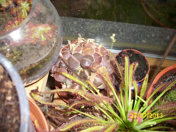 Lebende Steine der Gattung lithops. Gekauft im Herkules, wachsen beständig weiter, jedoch wird es allmählich Zeit für einen größeren Topf.
