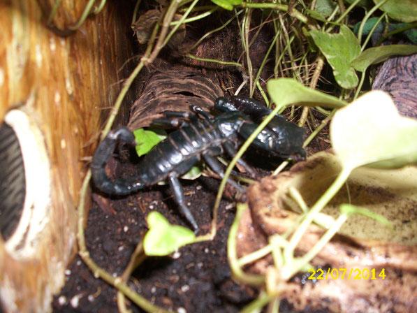 """Auch im kleinen Holzterrarium treiben die sommerlichen Temperaturen den """"Kleinen Dicken"""" nach draussen. Zwar präsentiert er sich nicht so oft aber manchmal dreht er schon seine Runden oder wechselt das Versteck."""