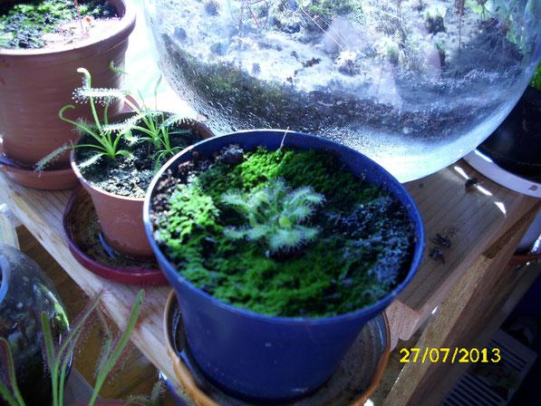 Ein paar weitere Jungpflanzen, die aus Keimlingen grossgezogen wurden. Vorne drosera spathulata, in der Mitte drosera capensis alba und im Hintergrund wächst eine kleine drosera aliciae.