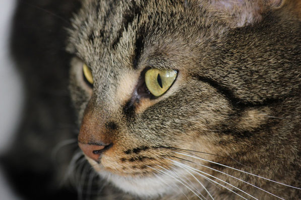 Francesco die Katze - Hauskatze - Kuscheltier - Cat - das Getier - das Verrückti - katze