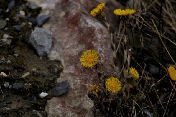 _DSC9160_Tussilage-Tussilago farfara-Asteraceae